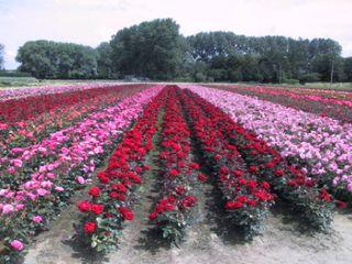 Roses2002
