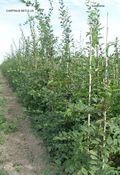 Carpinus Betulus 200